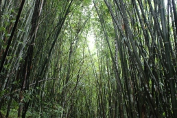 Bamboo trees in Khun Korn Forest